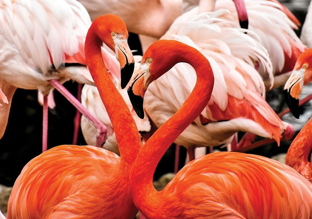 Animal Planet 100 Parça Flamingolar Puzzle